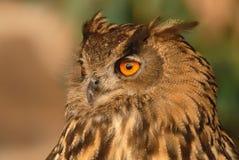 Close-up da cabeça de uma coruja real imagens de stock