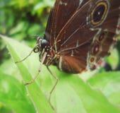 Close-up da cabeça de uma grande borboleta marrom com círculos nas asas fotos de stock