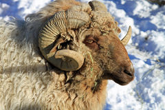 Close-up da cabeça de uma ram Fotos de Stock Royalty Free