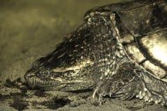Close up da cabeça e dos olhos modelados da tartaruga Fotos de Stock