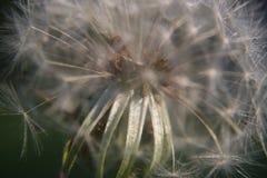 Close-up da cabeça da semente do dente-de-leão fotos de stock