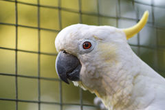 Close-up da cacatua Pássaro australiano na natureza Foto de Stock Royalty Free