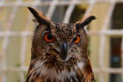 Close-up da cara da coruja Foto de Stock