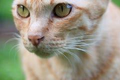 Close-up da cara do gato Foto de Stock Royalty Free