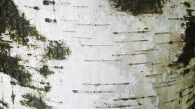 Close up da casca de vidoeiro Imagens de Stock Royalty Free