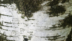 Close up da casca de vidoeiro Foto de Stock Royalty Free