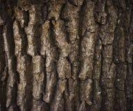 Close up da casca do carvalho Fotografia de Stock