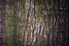 Close up da casca do carvalho Foto de Stock Royalty Free