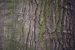 Close up da casca do carvalho Imagens de Stock