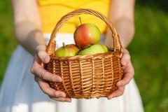 Close up da cesta do vintage com as maçãs orgânicas nas mãos da mulher verão da colheita do jardim outdoors Mulher que guarda uma imagem de stock royalty free