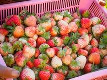 Close up da cesta grande da morango orgânica recentemente escolhida no wo Foto de Stock