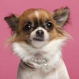 Close-up da chihuahua, 2 anos velha, com diamante Imagens de Stock Royalty Free