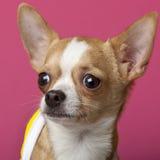 Close-up da chihuahua, 6 meses velha Foto de Stock