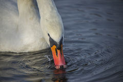 Close up da cisne muda (olor do cygnus) Imagem de Stock Royalty Free