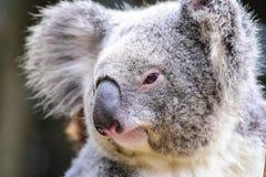 Close-up da coala Fotografia de Stock