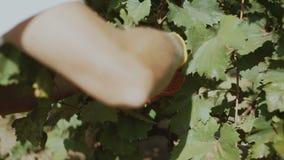 Close up da colheita da uva das mãos humanas que recolhem uvas vídeos de arquivo