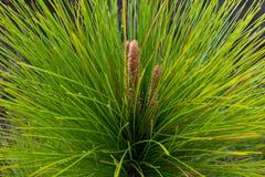 Close up da copa de árvore nova do pinho Fotos de Stock Royalty Free