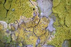 Close-up da cor da casca de árvore multi Fotos de Stock Royalty Free