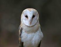 Close-up da coruja de celeiro Fotografia de Stock Royalty Free