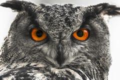 Close up da coruja de Eagle Imagens de Stock