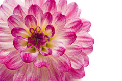 Close-up da dália cor-de-rosa imagem de stock