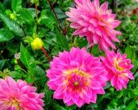 Close up da dália no jardim - a flor está na flor completa com as pétalas em tons da cor de cor-de-rosa e de vermelho à laranja e Imagem de Stock