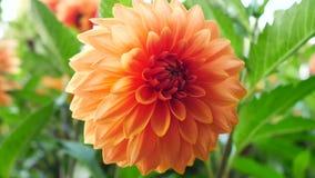 Close up da dália no jardim - a flor está na flor completa com as pétalas na cor imagens de stock royalty free