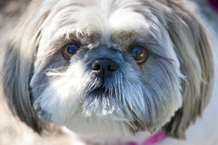 Close up da face do cão de Lhasa Apso fotos de stock