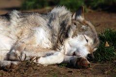 Close-up da face do sono do lobo Imagem de Stock Royalty Free