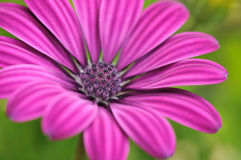Close-up da flor Fotografia de Stock