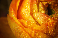 Close up da flor Fotografia de Stock Royalty Free