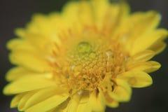 Close up da flor amarela bonita, da fotografia macro, das gotas de orvalho ou das gotas da água na flor fotografia de stock