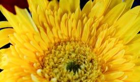 Close up da flor amarela imagens de stock royalty free
