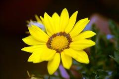 Close up da flor amarela na natureza Imagem de Stock