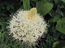 Close up da flor branca de tenax do Xerophyllum de Beargrass na fuga de Highline em Logan Pass em ir à estrada de Sun na geleira  fotos de stock royalty free