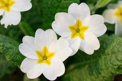 Close-up da flor branca, macro Tulipa em um fundo do verde Projeto macio do foco para o cartaz, tampa, marcando, bandeira, cartaz imagens de stock royalty free