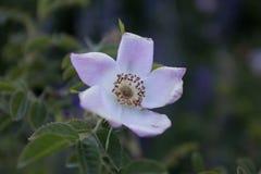 Close up da flor Caminhando a aventura no cl de San Carlos de Barilochein Fotografia de Stock