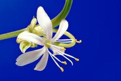 Close-up da flor, Chlorophytum Imagens de Stock Royalty Free
