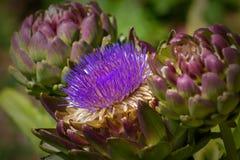 Close-up da flor da alcachofra foto de stock