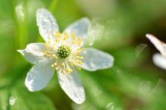 Close up da flor da anêmona no orvalho da manhã Foto de Stock Royalty Free
