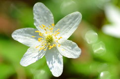 Close up da flor da anêmona no orvalho da manhã Fotografia de Stock