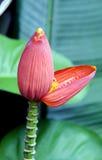 Close up da flor da banana. Fotografia de Stock