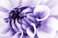 Close up da flor da dália Foto de Stock
