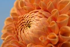 Close up da flor da dália Fotos de Stock Royalty Free