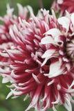 Close-up da flor da flor Imagem de Stock