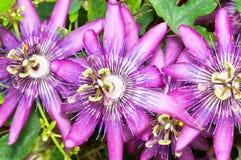 Close up da flor da fruta de paixão imagem de stock