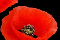 Close up da flor da papoila Fotos de Stock Royalty Free