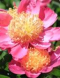 Close up da flor da peônia Fotos de Stock Royalty Free