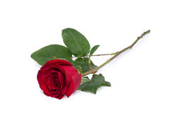 Close-up da flor da rosa do vermelho isolado no trajeto de grampeamento branco incluído imagens de stock