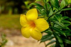 Close up da flor da trombeta dourada em Tailândia Fotografia de Stock
